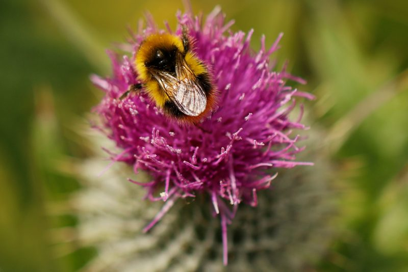 Early Bumble bee